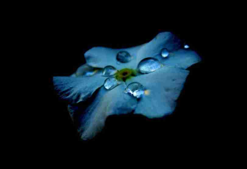 blue flower with dewdrops